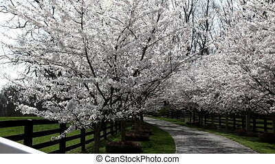Cherry Trees in Bloom - driveway lined with cherry trees in...