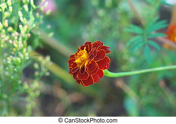 Tagetes   - photo of the Tagetes