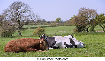 Black and white cows grazing in field on sunny day - Cows...
