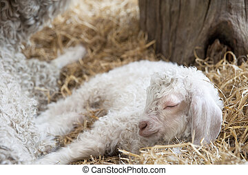 Adorable Spring lamd sleeping in farmyard - Lovely young...