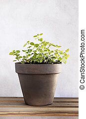 Oregano - A potted oregano herb plant