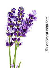 Lavandula Hidcote isolated on white background