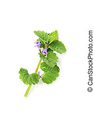 Corn mint isolated on white