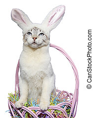 Cat Dressed Like a Rabbit - White cat with Bunny ears...