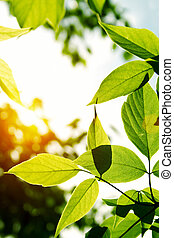 Green leaves with sun ray
