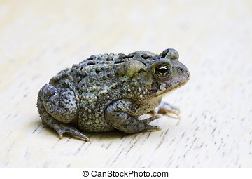 Toad - A very small toad with warts and all