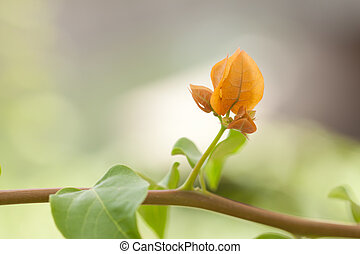 budding bougainvillea. - closeup shot of budding...
