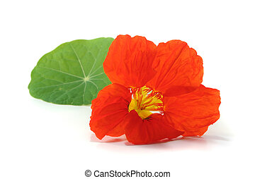 cress Capuchin - orange nasturtium with leaf on a white...