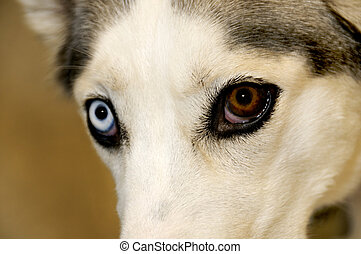 Husky with Blue and Brown Eyes - A close-up of a siberian...