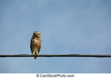 Burrowing Owl (Athene cunicularia) of South America - A...