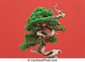 Juniper bonsai - high quality juniper bonsai over red...