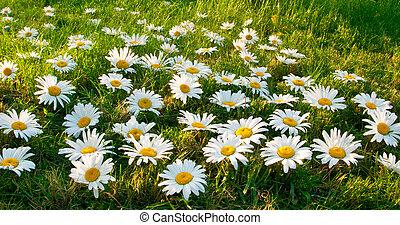 Large white daisies on the green grass