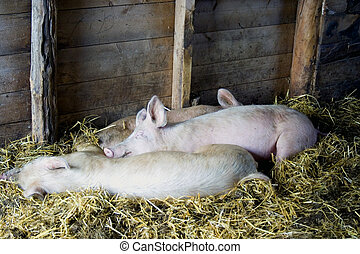 Pigs sleeping in barn - Pigs asleep on hay in barn on farm