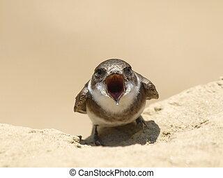 Sand Martin, swallow, riparia riparia