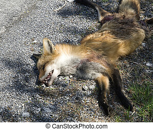 fox hit by a car on the roadside