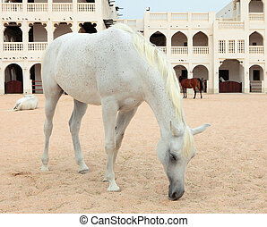 Arab horses in Doha, Qatar