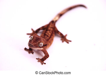 Crested Gecko - A crested gecko crawling towards the camera...