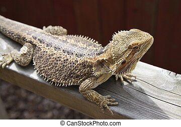 Bearded Dragon on wood plank - A bearded dragon crawling on...