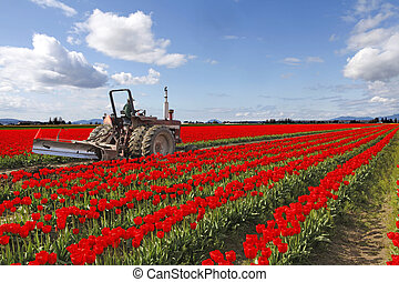 Red tulips fields with farmer on the tractor