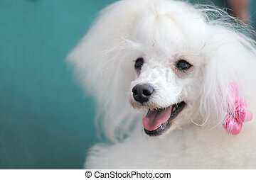 Toy poodle dog - Portrait of a little white poodle dog