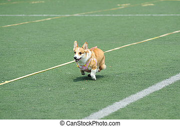 Welsh Corgi dog running on the playground
