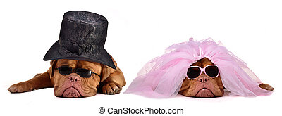 Bride and groom dog of Dogue De Bordeaux Breed - A male and...