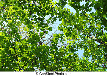 Fresh spring green tree leaves canopy in a forest