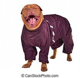 Cute yawning dog dressed with raincoat, isolated