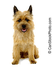 Happy dog Cairn Terrier - Sweet happy dog is sitting on a...