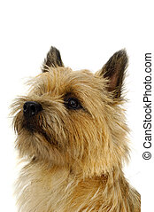 Face of Cairn Terrier dog. - Face of sweet dog, taken on a...