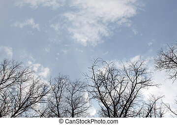 Poplar trees without leaves in the spring against the cloudy...