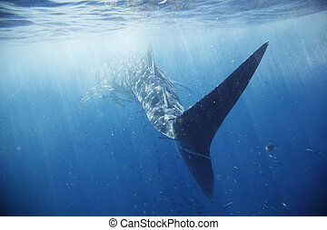 Whale shark - The biggest fish in the world, surrounded by...