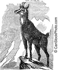 Chamois, or Antilope rupicapra vintage engraving - Chamois,...