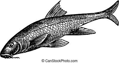 Barbus barbus or Common Barbel Vintage engraving - Barbus...