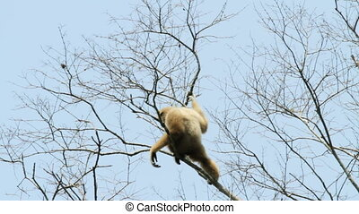 white handed gibbon in tree, kaeng krachan national park,...