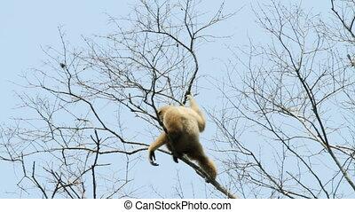 white handed gibbon in tree, kaeng krachan national park,...