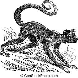 Ateles paniscus or Red-faced spider monkey. Vintage...