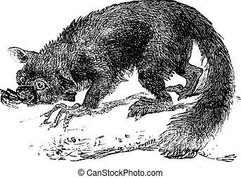 The Aye-aye, lemur or Daubentonia madagascariensis. Vintage...