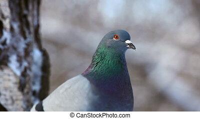 Pigeon. - Rock pigeon, winter