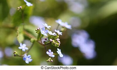 Myosotis in light breeze - Myosotis or Forglemmigej in...