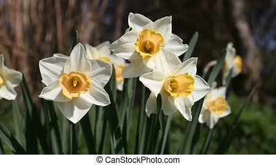 Daffodils, zooming out - White and yellow Daffodils waving...