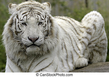 white tiger - a white tiger in a zoo