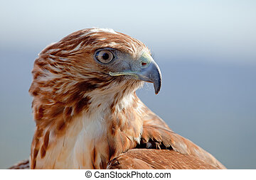 Eagle of red tail Buteo jamaicensis - Fantastic eagle of red...