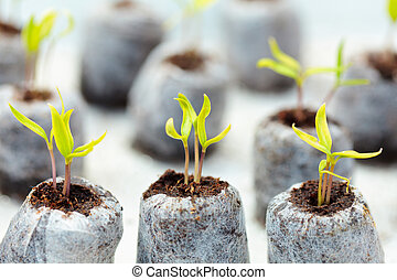 Tomato seedling in peat balls - Closeup of tomato seedlings...