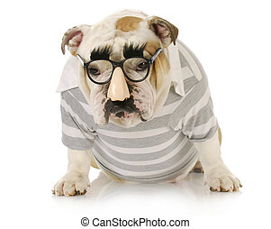 groucho marx - funny dog - english bulldog wearing groucho...