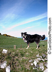 A Border Collie with blue sky