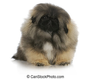 pekingese puppy sitting with reflection on white background