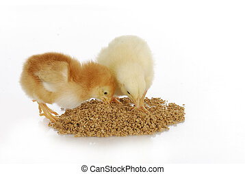 chicks eating food - newborn chicks eating from pile of feed...
