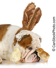 easter time - bulldog bunny with two young chicks on white...