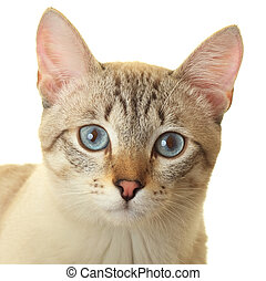 Thai cat with blue eyes Expressive look